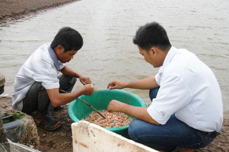 Dịch bệnh lây lan theo nguồn nước khiến tôm nuôi bị thiệt hại.
