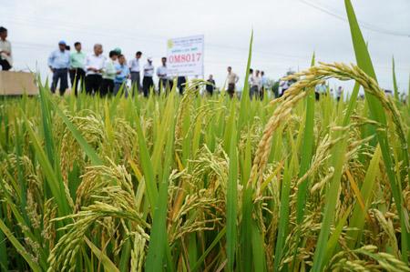 Lúa thuần giống MO8017 trĩu hạt được trồng thử nghiệm