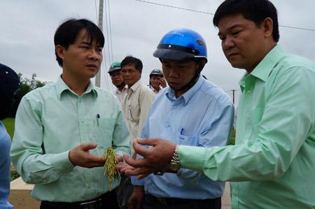 Đoàn của Tổng công ty giống Thái Bình kiểm tra lúa giống lúa mới.