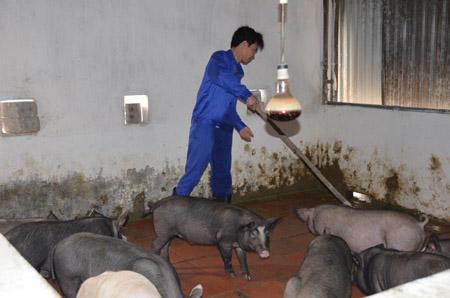 Một góc trong khu chăn nuôi lợn hữu cơ tại Trung tâm Cai nghiện Gia Minh.