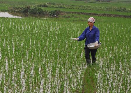 Do không được đào tạo về cách sử dụng phân bón nên nhiều nông dân thường bón quá nhiều so với nhu cầu, gây lãng phí.