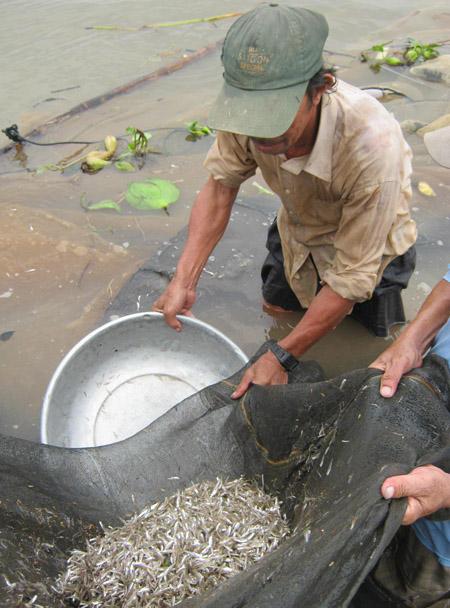 Bình quân một mẻ lưới được khoảng 3,4 kg cá cơm