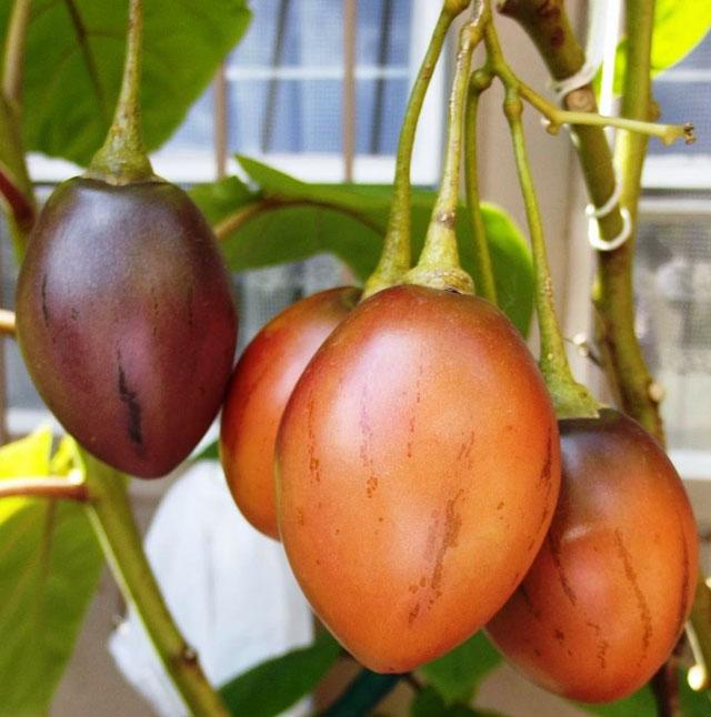 148732450629344-tamarillo-fruits-red-solanum-betaceum2