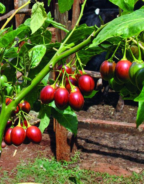 148732450645832-tree-tomato-farming-in-kenya