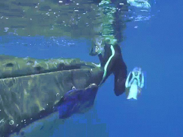 Lý do cá voi 23 tấn dùng vây che chở, cứu nữ thợ lặn khỏi cá mập