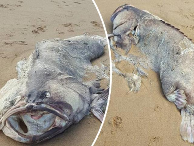 """Xác """"quái vật"""" biển nặng 1,5 tạ trôi dạt vào bờ biển Úc"""