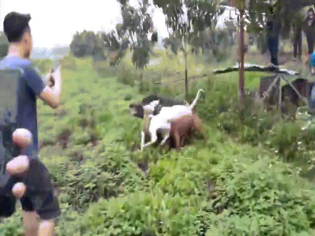 Cảnh chó săn và lợn rừng tử chiến ở VN lên báo nước ngoài