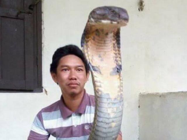 Sốc với hổ mang chúa khổng lồ chưa từng thấy ở Indonesia