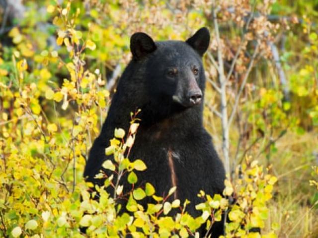 Bé trai 3 tuổi lạc vào rừng giữa mùa đông, sống sót nhờ... gấu đen