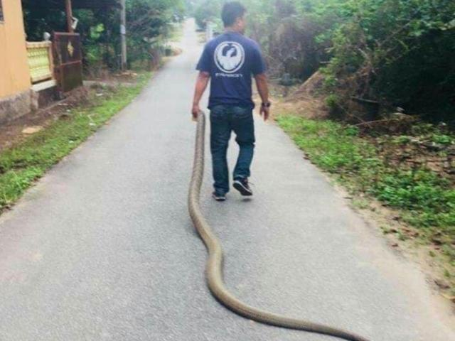 Malaysia: Bắt hổ mang chúa khổng lồ dài 4m bằng tay không, kéo lê trên đường