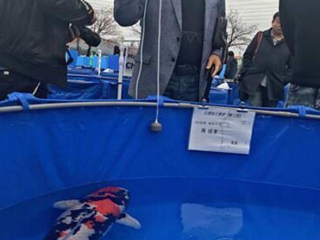 Loài cá Nhật Bản này có gì đặc biệt mà từng được đấu giá tới 47 tỷ?