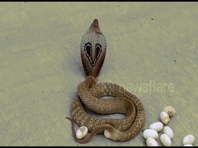 Video rắn hổ mang đẻ trứng giữa phố đông người