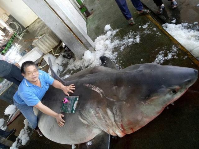 Đài Loan: Mổ bụng cá mập trắng mang thai, thấy cảnh đáng buồn