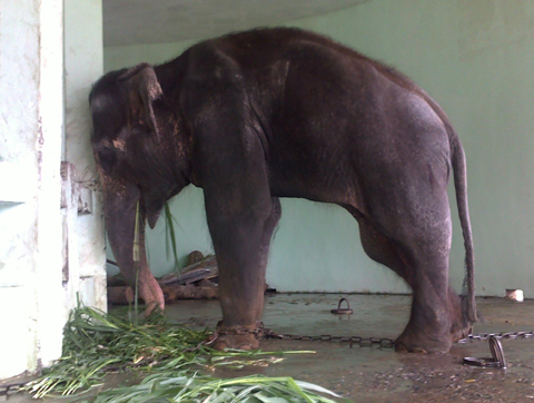 Con voi đực lưng gù K'rông ốm yếu trước khi chết. Ảnh: Vườn thú Hà Nội cung cấp.