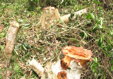 Nhiều diện tích rừng của Lâm trường Cô Ba bị tàn phá. Ảnh: Dân Trí