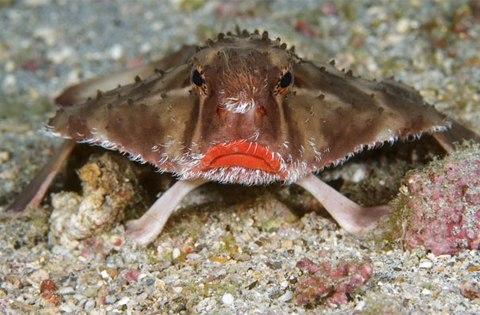 á dơi (batfish) có một số loài thuộc họ cá Ogcocephalidae, một số khác lại thuộc họ Ephippidae. Chúng có thân dẹt tựa một con cá bơn, có cái đầu phồng ra lạ lùng như một con cá ếch, và đi bộ trên những chiếc vây biến đổi.CacsẢnh: Daniel Selmeczi/Steve Bloom / Rex Features