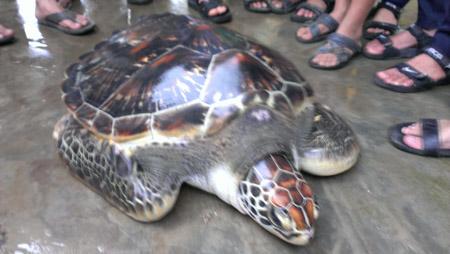 Con rùa biển nặng 33kg do ông Ty bắt được.
