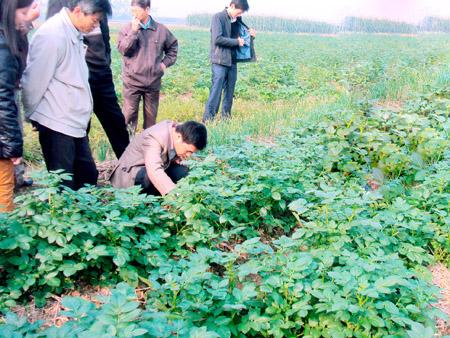 Ruộng khoai tây bón phân NPK - S.