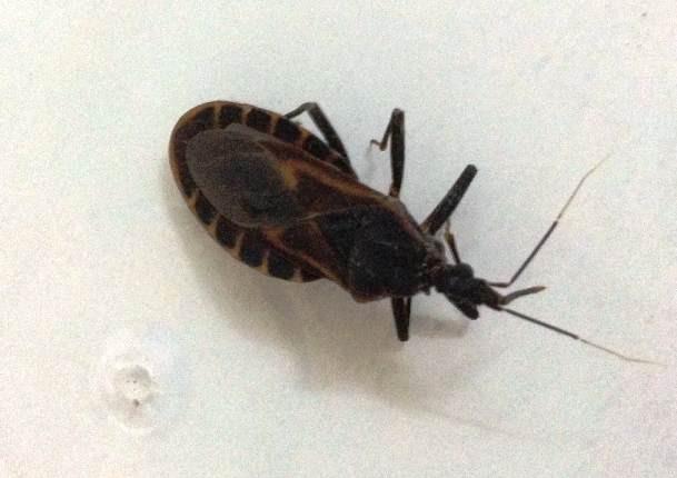 Cá thể bọ xít được cho là bọ xít hút máu được phát hiện thấy ở nhà anh Thái.