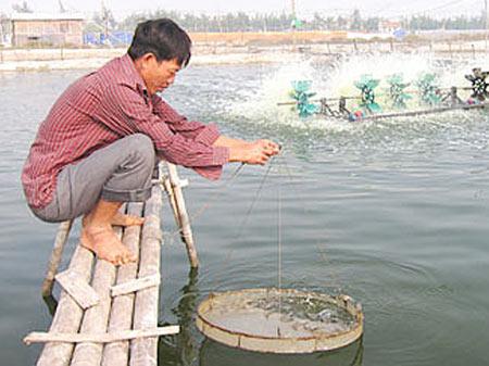 Nhiều thành viên trong CLB Nuôi trồng thủy sản 2 ở xã Hải Đông có thu nhập cao từ nuôi tôm.