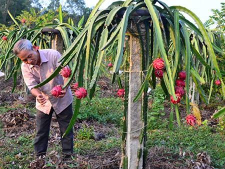 Chăm sóc cây thanh long ruột đỏ (Ảnh minh hoạ)