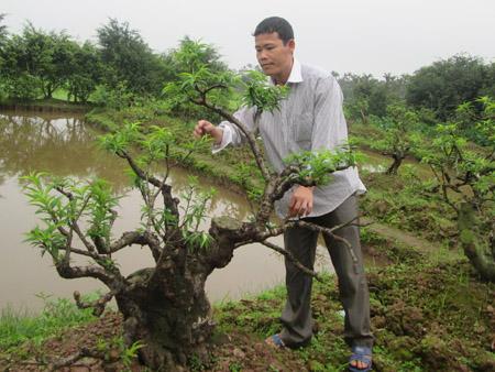 Anh Ngô Văn Nhợi tâm huyết với cây đào dáng trực hơn chục tuổi của mình.