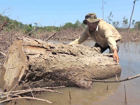 Gốc cây bần bị đốn hạ có kích thước lớn.