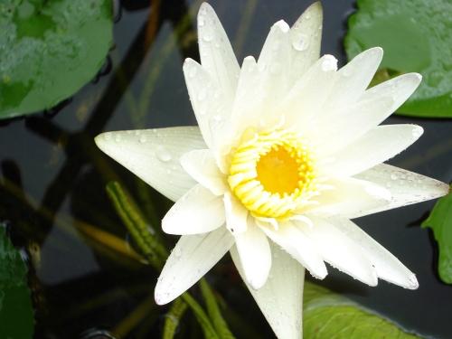 Vẻ đẹp rạng ngời, tinh khiết của hoa súng trắng. Ảnh: hoasung.net