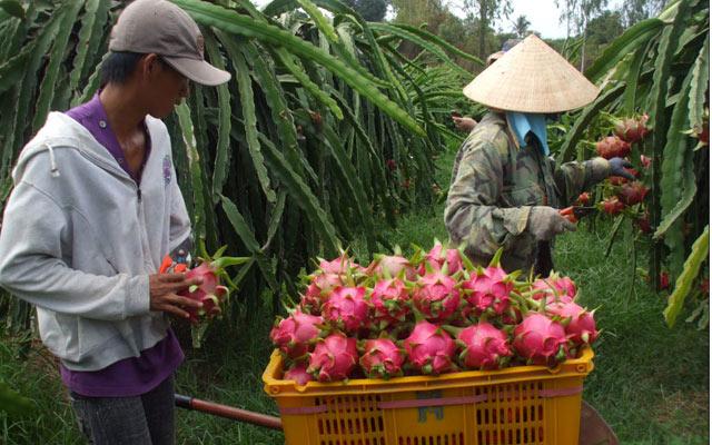 Được chăm sóc và phòng trừ dịch bệnh đúng cách, vườn thanh long cho hiệu quả cao.