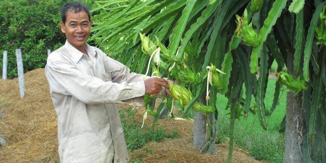 Ông Đinh Văn Hồng chăm sóc vườn thanh long ruột đỏ.