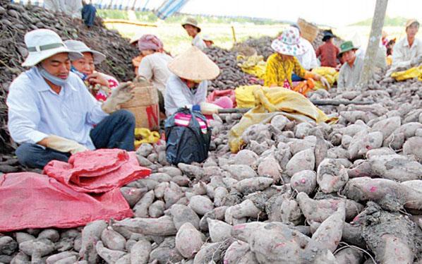 Nông dân thu hoạch khoai lang ở Vĩnh Long, chủ yếu đế xuất tiểu ngạch sang Trung Quốc. Ảnh: Lê Hoàng Yến
