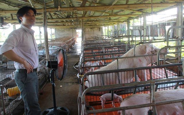 Trang trại của anh Trần Thế Toàn phải dùng quạt làm mát cho đàn lợn nái và lợn thịt.