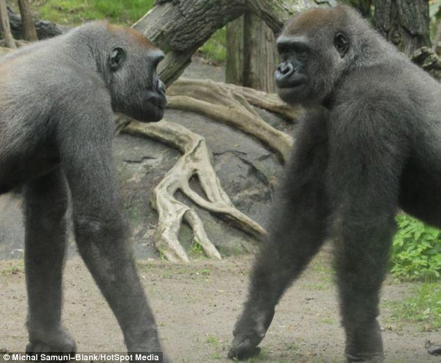 Hai con khỉ đối đầu nhau tại vườn thú Bronx Zoo. Cả hai đều thuộc loài khỉ đột Gorilla. Đây là một loài linh trưởng lớn nhất với những con khỉ trưởng thành có thể nặng tới 150 kg.