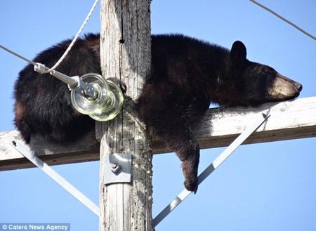 Chú gấu đen đang say giấc trên đỉnh cây cột điện cao thế.