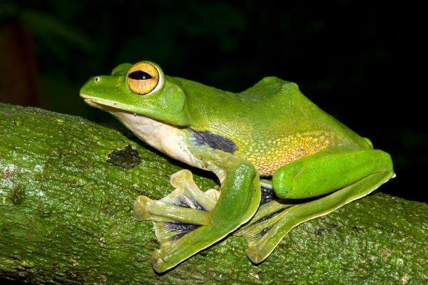 Loài ếch xanh khổng lồ biết bay Helen, với tên khoa học Rhacophorus helenae, được tìm thấy trong vòng bán kính chưa đầy 100km xung quanh TPHCM. Loài này có thể dài đến 10cm và nằm trong nhóm các loài ếch có khả năng bay tốt nhất. Ảnh: WWF cung cấp.