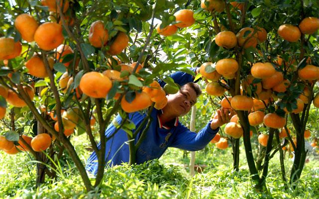 Bón phân NPK-S Lâm Thao cho cây cam, quýt