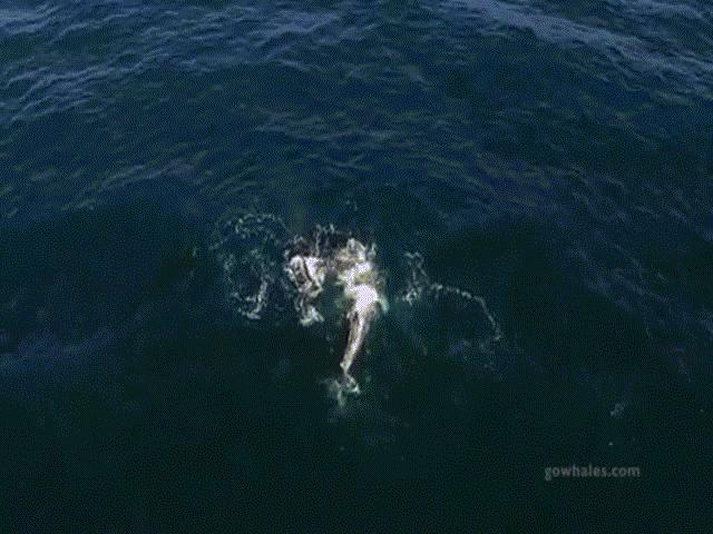 Cá voi mẹ cõng con chạy trốn cá voi sát thủ khát máu