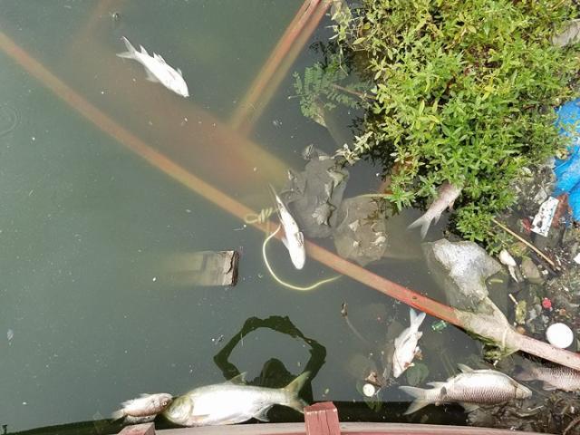 HN: Tròn 1 năm, cá lại chết trắng hồ Hoàng Cầu