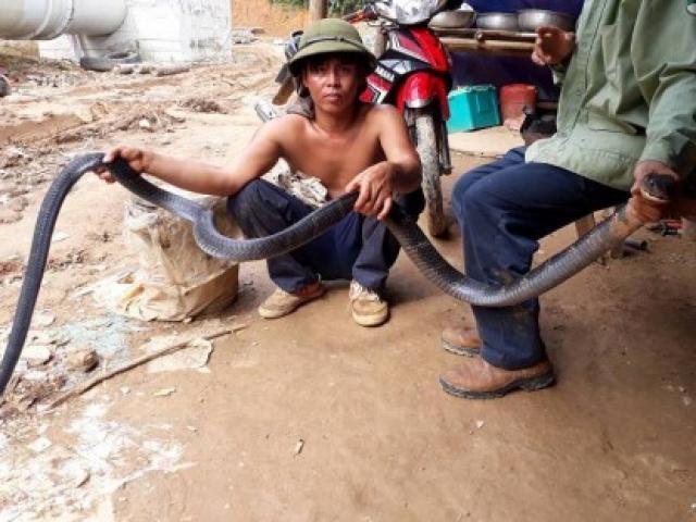 Nghệ An: Người dân bắt được rắn hổ mang chúa dài hơn 3m