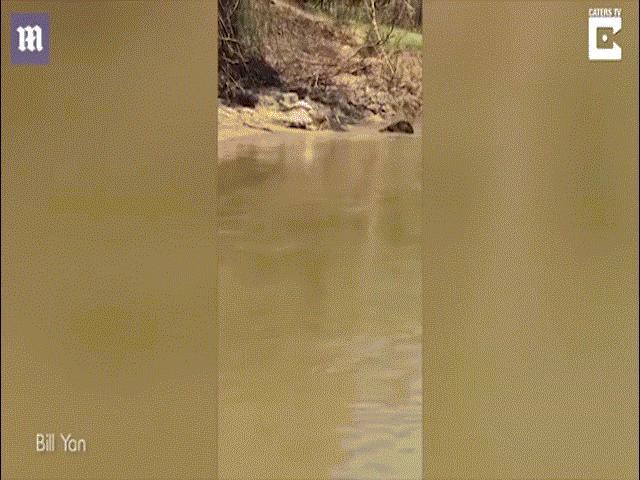 Cá sấu khổng lồ xé xác đồng loại, nuốt đến mẩu đuôi cuối cùng