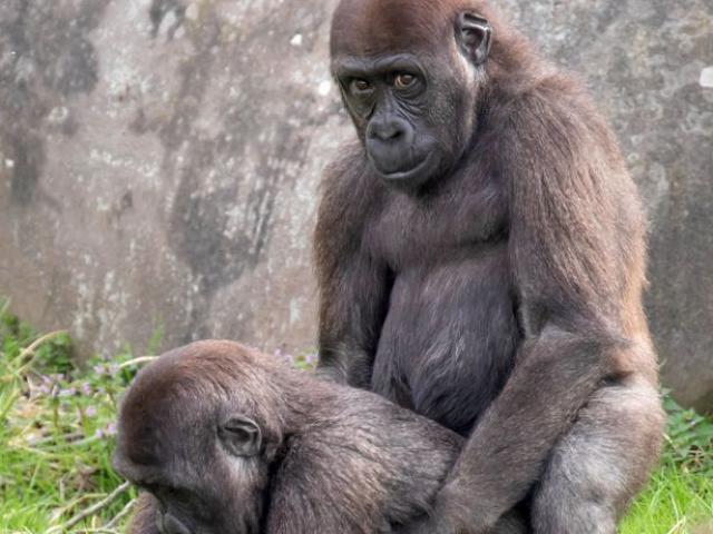 """Khỉ đột ngang nhiên làm chuyện """"nhạy cảm"""" trước mặt du khách"""