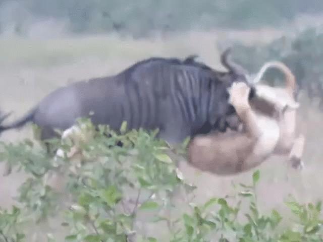 Linh dương đầu bò húc bay sư tử thoát thân ngoạn mục