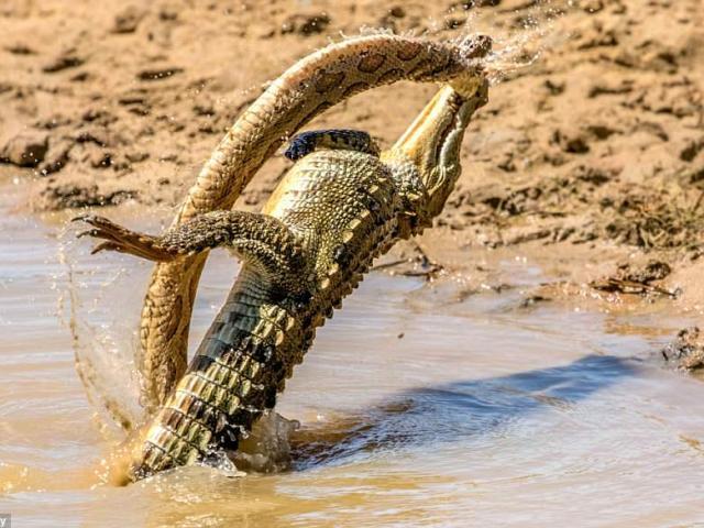 Trận chiến ác liệt giữa cá sấu và rắn khổng lồ