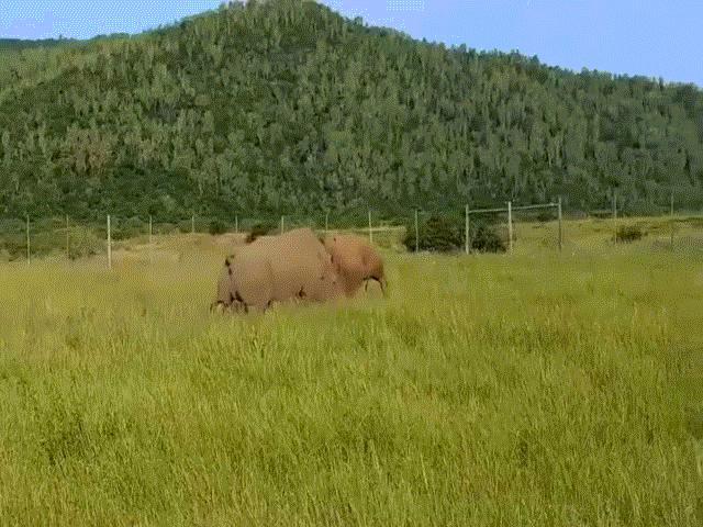 Cuộc đại chiến khốc liệt giữa cặp tê giác bảo vệ lãnh thổ