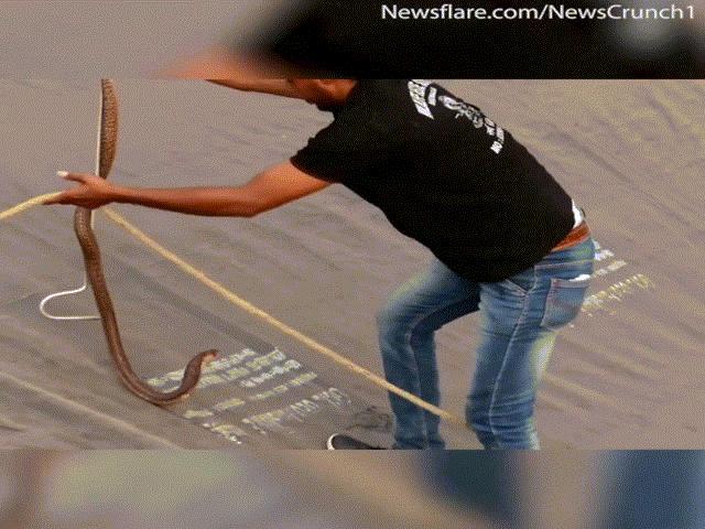 Nổi da gà chứng kiến người đàn ông cứu rắn hổ mang chúa khỏi... chết đuối