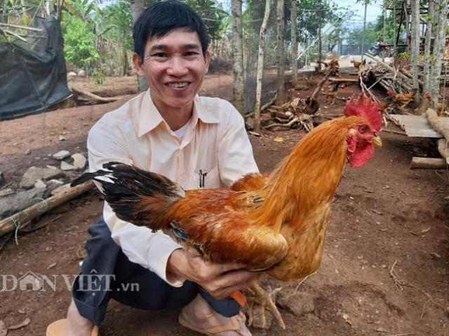 """""""Vua gà dược liệu"""" ở Kon Tum: Bị bại liệt vẫn lấy 2 bằng đại học"""
