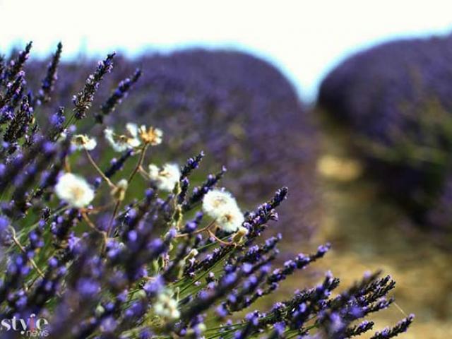 Những cánh đồng hoa oải hương tím biếc ở Provence