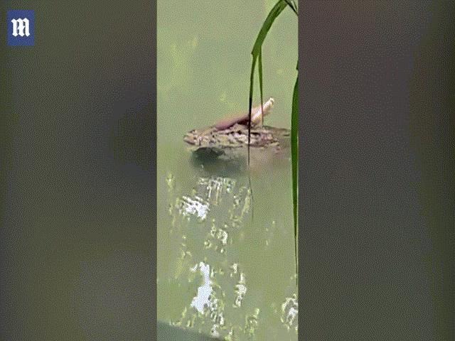 Indonesia: Đau lòng cảnh cá sấu ngoạm thi thể người bơi trên sông