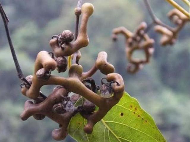 Loại cây xấu xí, ai nhìn cũng sợ nhưng người dân Trung Quốc lùng sục tìm mua không có
