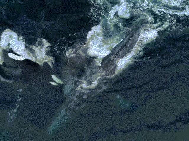 Cá voi mẹ một mình chiến đấu với 5 Sói biển để bảo vệ con
